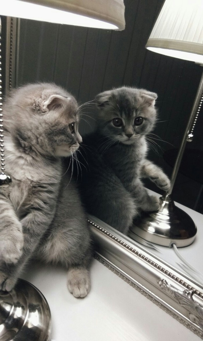 Кот по имени Кексик Кот, Кот с лампой, Милота, Пушистое мимими, Шотландская вислоухая, Длиннопост