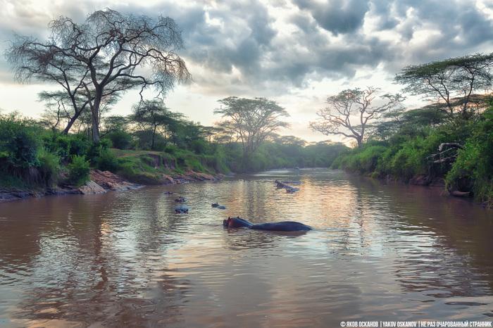 Кровавый пот и почему бегемоты самые крутые фитоняшки животного мира. Животные, Бегемот, Гиппопотамы, Кения, Танзания, Африка, Длиннопост
