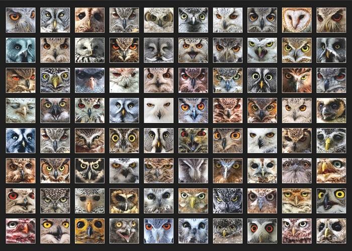 Цвет глаз у сов эволюционно связан с их суточной активностью Наука, Орнитология, Птицы, Сова, Копипаста, Elementy ru, Длиннопост