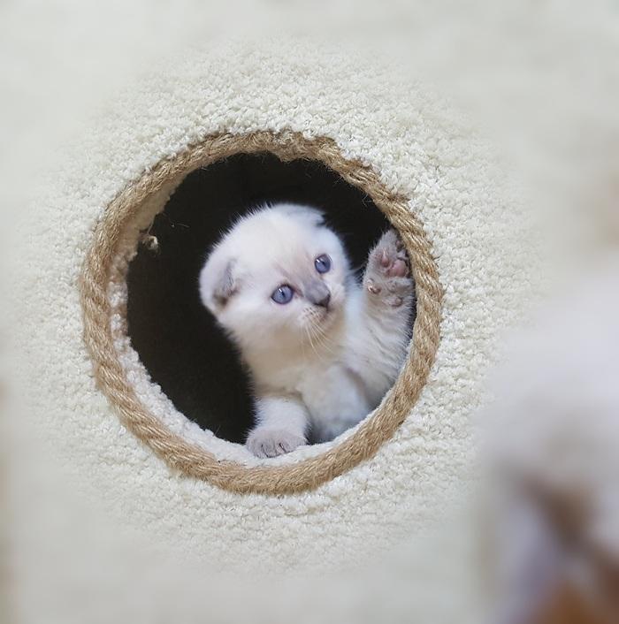 Кто здесь? Кот, Котомафия, Котята, Шотландская вислоухая