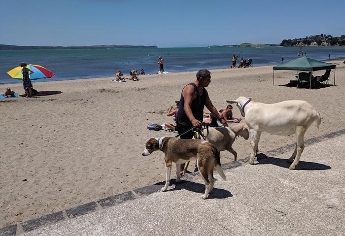 А где-то лето... А где-то море... А где-то люди со своими козочками на пляже... Новая зеландия, Коза, Пляж, Море