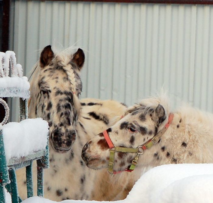 Расмус и Камелот - пятнистые пони =) Лошади, Пони, Волоколамск, Длиннопост
