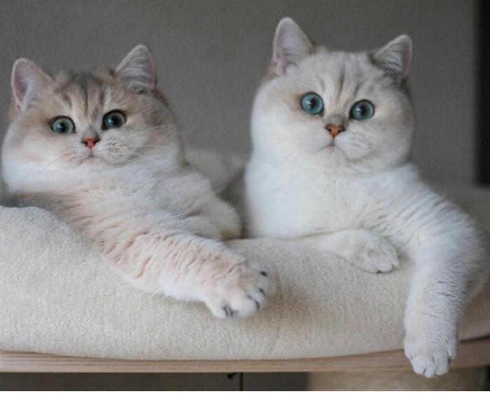 Когда вернулись от бабушки Кот, Щеки, Кость пушистая, Домашние животные, Милота, Британский кот, Британская короткошерстная