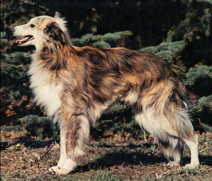 О породах собак №83. Шелковистый виндхаунд. Собака, Породы собак, Борзая, Шелковистый виндхаунд, Длиннопост