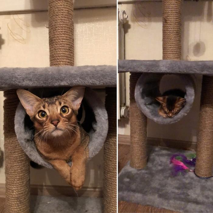 Разница 6 месяцев Кот, Абиссинская кошка, До и после