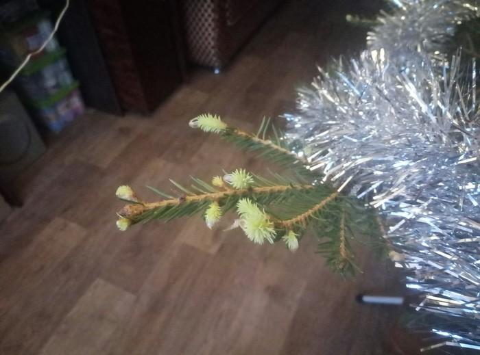 Живая елочка Новогодняя елка, Чудо