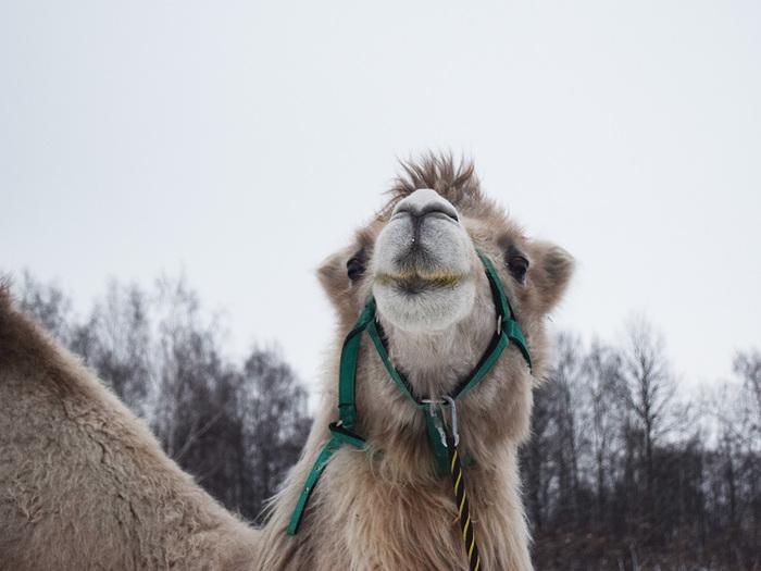 Верблюд в конюшне! - как это вообще!? Верблюды, Конюшня, Лошади, Приют, Приют для животных, Видео, Фотография, Длиннопост