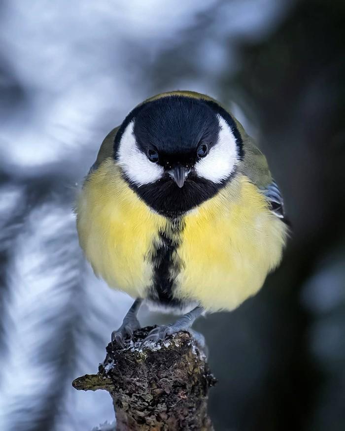 Круглая птичка Фотография, Птицы, Синица, Кость широкая