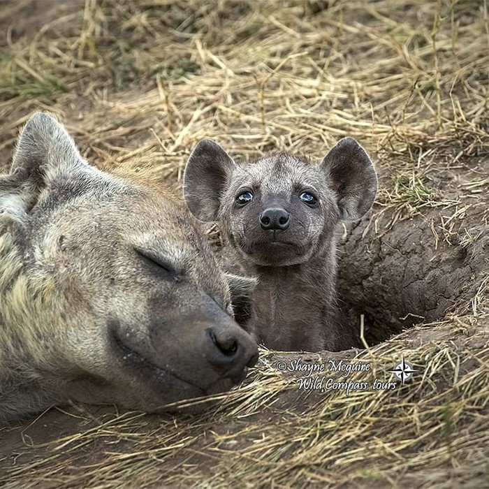 Пока мама спит Фотография, Животные, Детеныш, Гиена, Милота