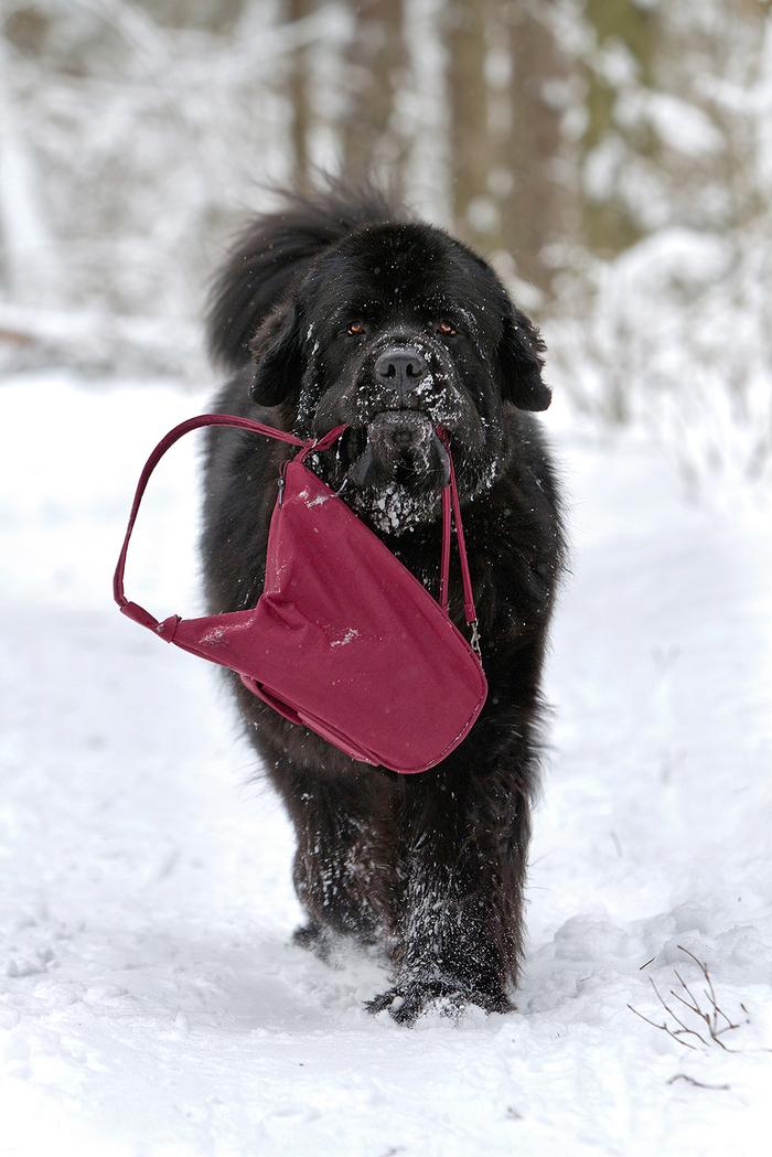 Cнеголаз Canon, Собака, Животные, Собачьи будни, Ньюфаундленд, Фотография, Длиннопост