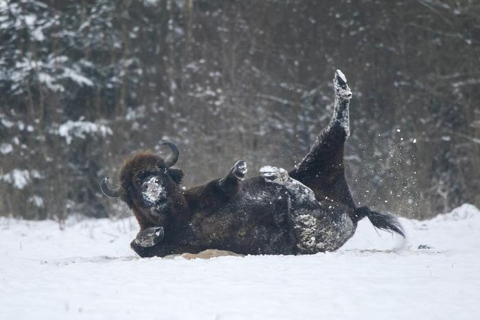 Хоба! The National Geographic, Фотография, Зубр, Животные, Снег