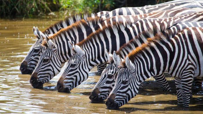Вы когда-нибудь задумывались над тем, почему зебры полосатые? Новое исследование отвечает на этот вопрос Наука, Животные, Интересное, Познавательно, Исследование, Длиннопост