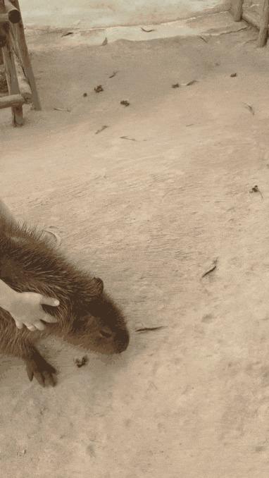 Как завалить капибару