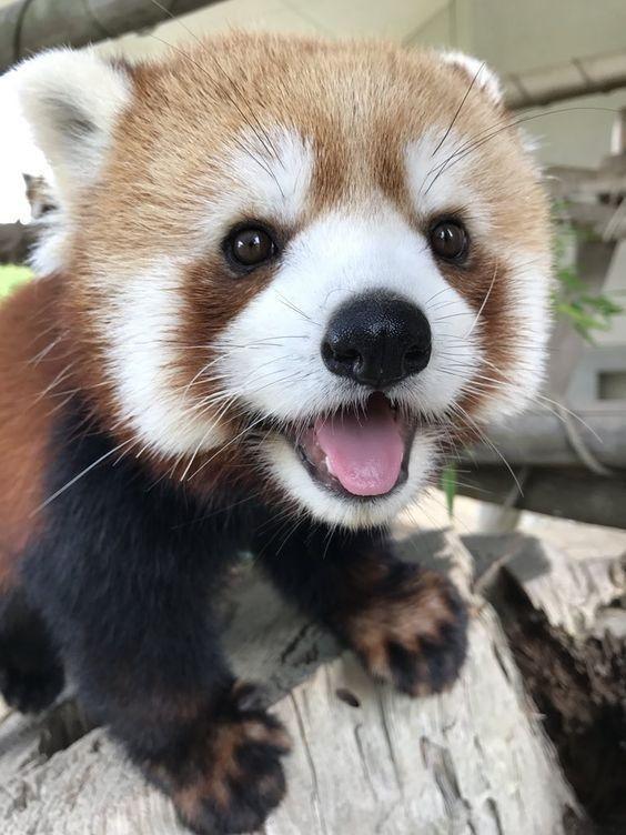 Жизнерадостная красная панда желает добра