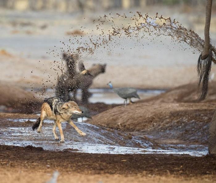 Тяжелый день Фотография, Животные, Африка, Водопой, Шакалы, Гиена, Слоны, Душ