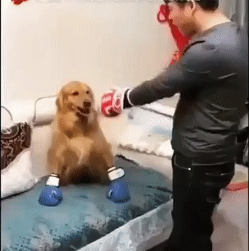 Золотистый боксер