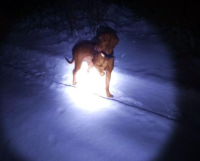 Выжла #6 - еще немного про контакты, + типы прогулок Собака, Прогулка, Венгерская выжла, Лес, Зима, Длиннопост