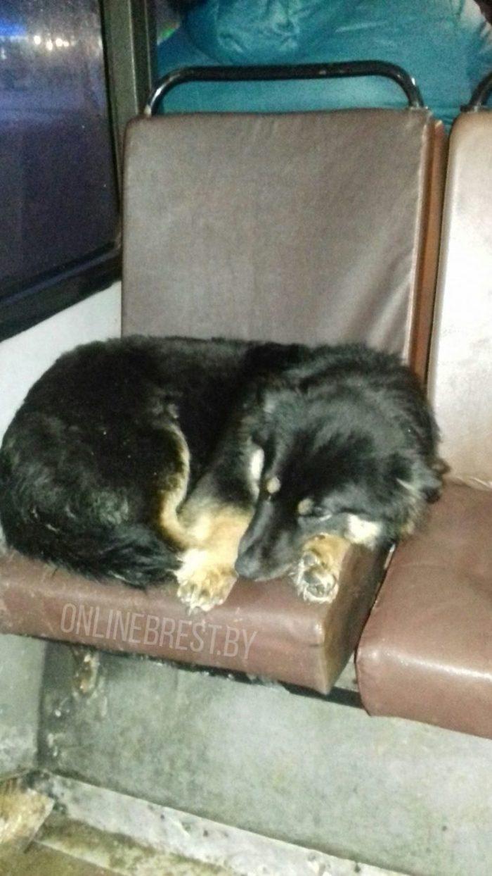 В Бресте потерявшийся пес около полугода ездил в автобусах в надежде найти своих хозяев. Собака, Нашёлся, Беларусь, Неравнодушные люди, Длиннопост