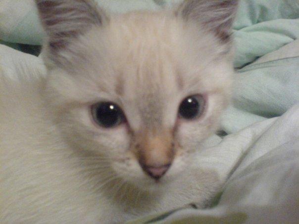 Кошка Кошка Тайская кошка, Домашние животные, Длиннопост, Кот