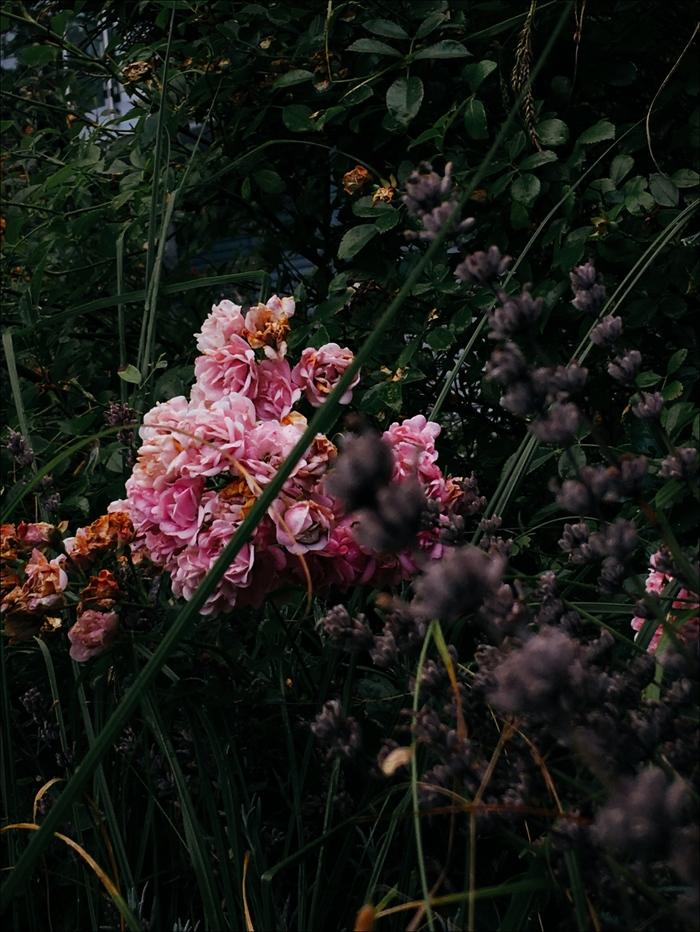 Розовый сад поздним летом Фотография, Цветы, Начинающий фотограф, Длиннопост, Лето