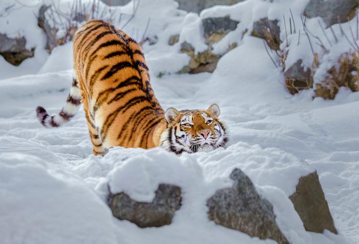 Потягушки The National Geographic, Фотография, Тигр, Кот, Снег, Утро, Потягушки