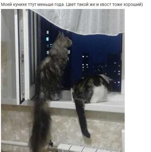Коты и открытые окна: история одного мейн-куна Кот, Падение, Рассказ, Мейн-Кун, Длиннопост, Животные, Безопасность