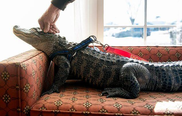 Ласковый Уолли Пресмыкающиеся, Крокодил, США, Служебные крокодилы, Видео, Длиннопост