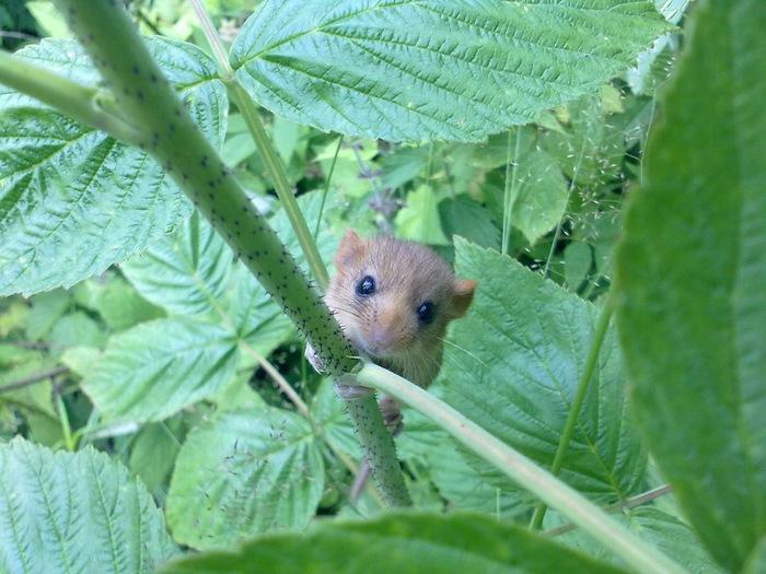 Мышка Мышь, Полевка, Природа, Животные, Малина, Подмосковье