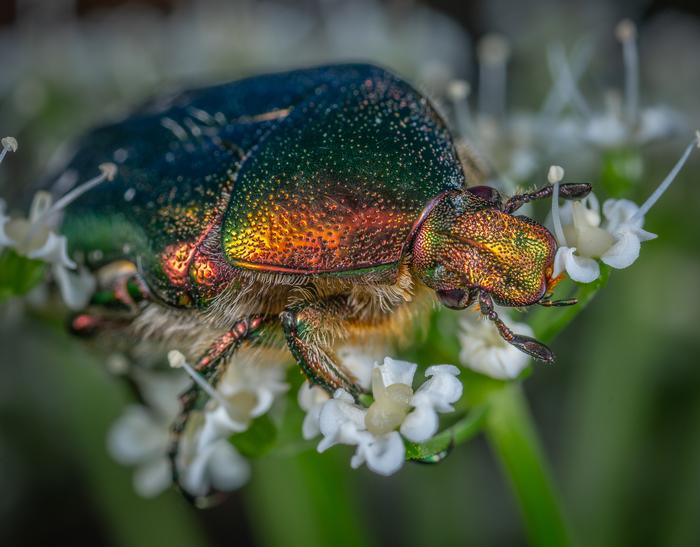 Бронзовка жуёт цветочек Макро, Макроохота, Жесткокрылое, Насекомые, Бронзовка, Жуки, Mp-e 65 mm
