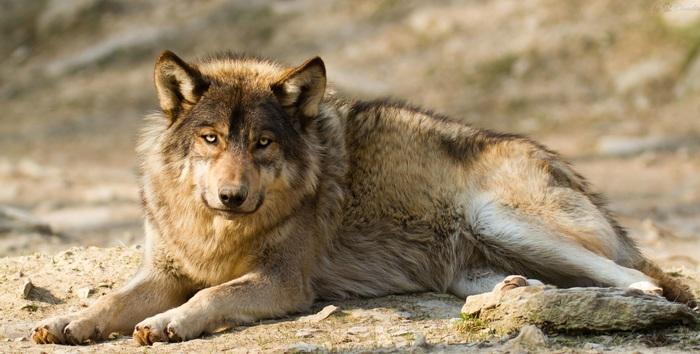 Грустный волк.