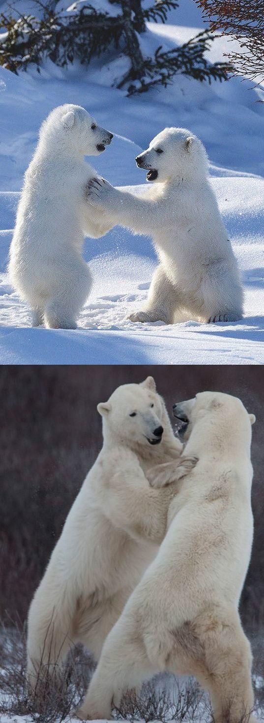 Братья подросли Фотография, Медведь, Белый медведь, Снег, Детеныш, Животные