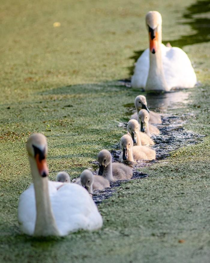 Родительский контроль Фотография, Птицы, Лебеди, Птенец