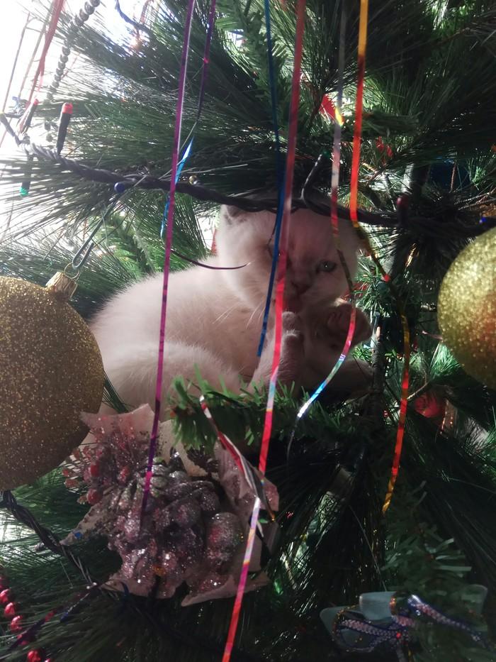 Ёлколаз Маруся (продолжение знакомства). Котомафия, Котята, Новогодняя елка, Длиннопост, Кот