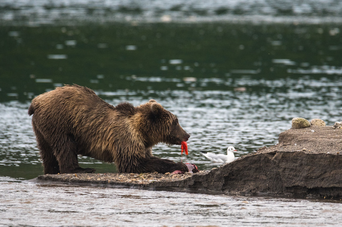 Лакомка The National Geographic, Фотография, Медведь, Рыба, Птицы, Вода