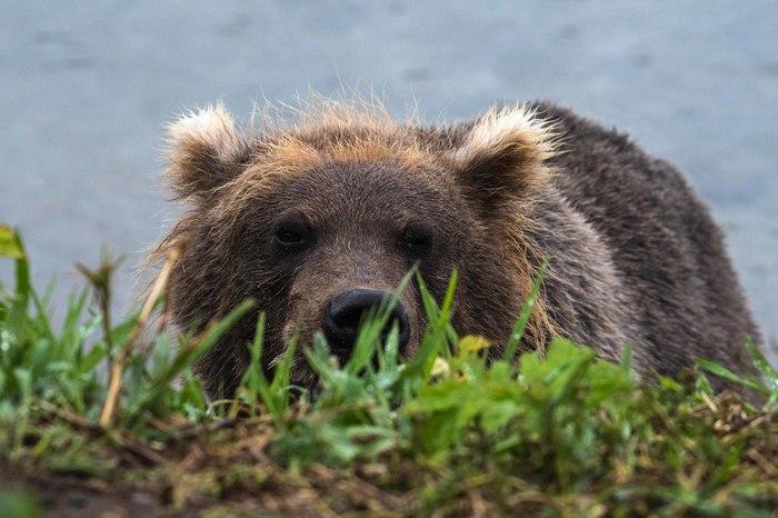 Я за тобой слежу The National Geographic, Фотография, Медведь, Животные