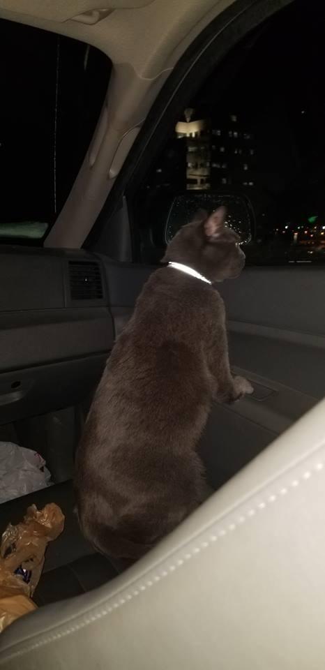 Кот решил, что это он будет сидеть на переднем сиденье рядом с водителем. Кот, Котомафия, Авто, Пассажир, Длиннопост