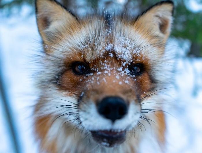 Снежная моська ^.^ Лиса, Милота, Рыжая морда, Животные, Фотография