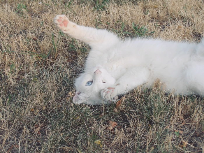 Белый кот с гетерохромией Белый, Кот, Котомафия, Гетерохромия, Анапа, Животные