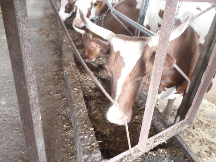 Нужна ли  России корова, приносящая 1 млн. рублей в год? Корова, Ферма, Семейная ферма, Начинающий фермер, Видео, Длиннопост, Молоко