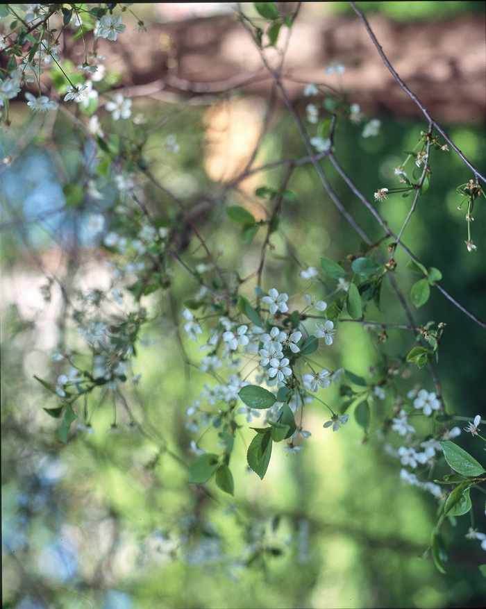 Майские цветуёчки-2 (слайд наносит ответный удар) Фотография, Pentax67, Фотопленка, Длиннопост