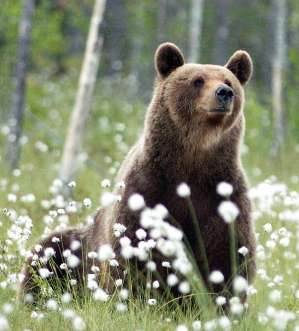 Медвежий мир Медведь, Карелия, Длиннопост, Фотография, Природа, Лето