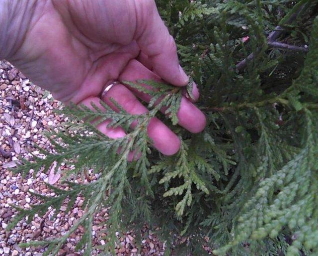 Размножение хвойных черенками зимой Хвойники, Черенкование, Для сада, Выращивание, Своими руками, Саженцы, Растения, Длиннопост
