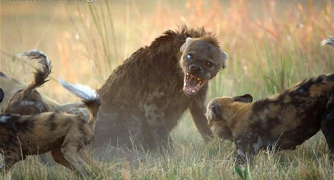 Гиена матриарх борется со стаей африканских диких собак
