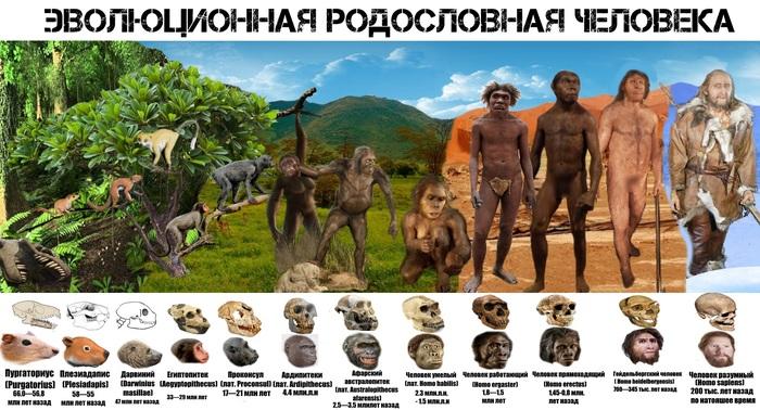 Эволюционная родословная человека Эволюция, Биология, Антропогенез