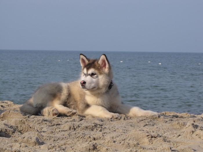 О маламуте и личном опыте Собака, Аляскинский маламут, Длиннопост