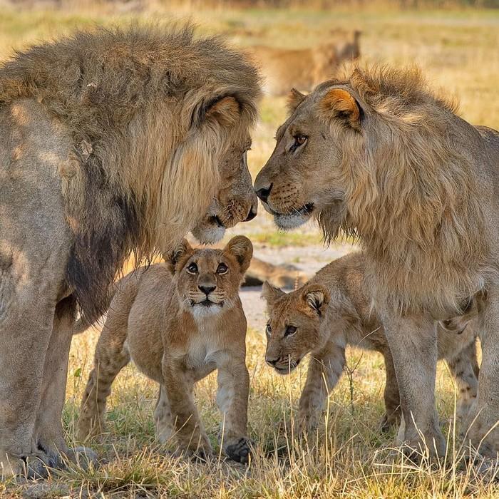 Будущий король Фотография, Животные, Лев, Львята