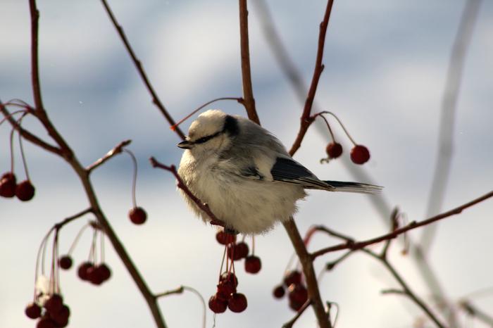 Белая синица? Птицы, Фотография, Синица, Лазоревка