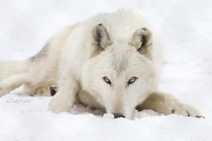 Белый клык Белый волк, Фотография, Волк