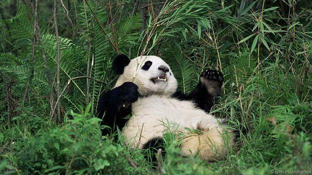 Немного о пандах Панда, Большая панда, Дикие животные, Интересное, Длиннопост