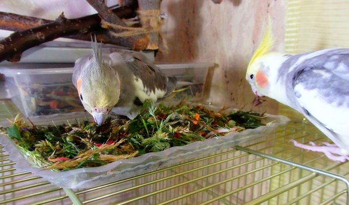 Витаминизируемся) Птицы, Полевой Воробей, Воробей Тоша, Попугай, Корелла, Питание, Длиннопост